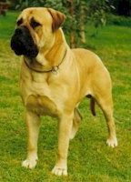 Aust. CH Weilhana Lord Brutus - Owned by B & K Marion