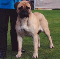Aust/NZ CH Kugel Saucy Spice (Imp. NZ) - Owned by J Sellars